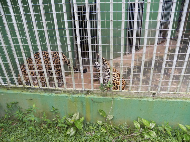 Two jaguars at the zoo in Manaus, Amazonas, Brazil. Photograph taken by Patrick Carpen around May, 2016.