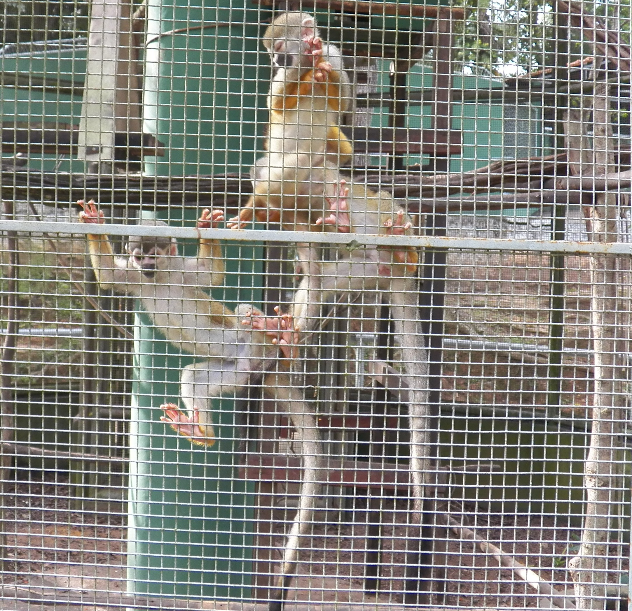Some monkeys at the zoo in Manaus, Amazonas, Brazil. Photograph taken by Patrick Carpen around May, 2016.