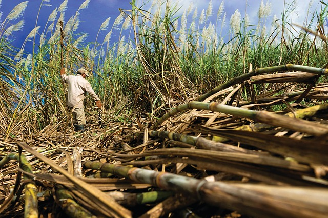 sugar cane photo
