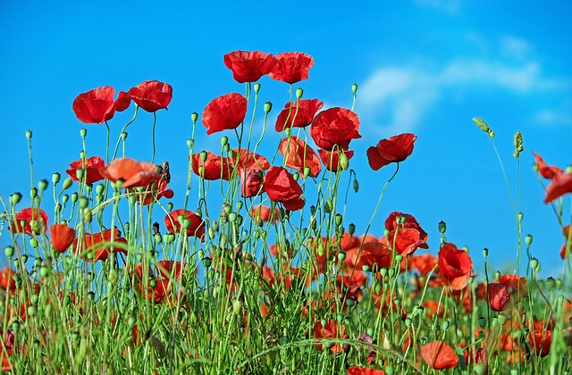In Flander's Field – A Wartime Poem