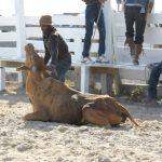 Rupununi Rodeo Photos 51-60